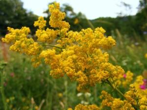 flori de sanziene